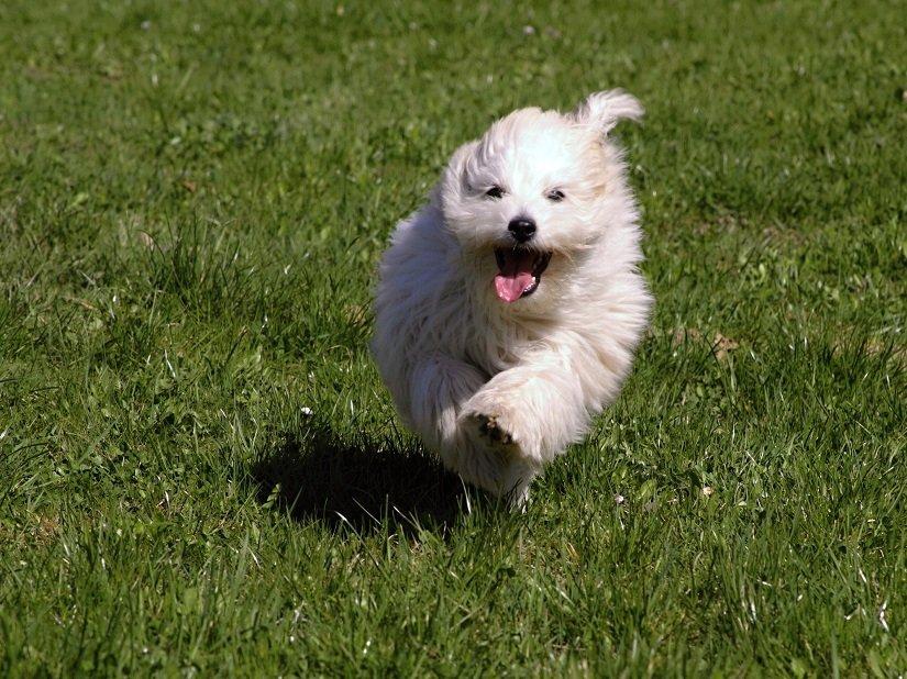Baumwollhund