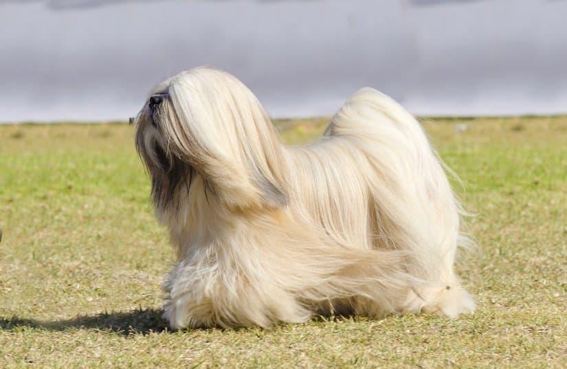 """Der Lhasa Apso wird auch """"Löwenhund"""" genannt"""