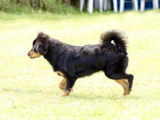 Tibetanischer Mastiff