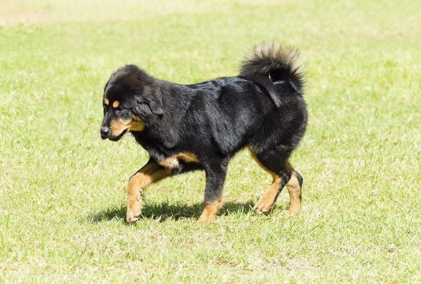 Tibetanischer Mastiff Welpe