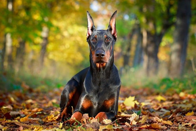Auch der Dobermann gilt als Listenhund