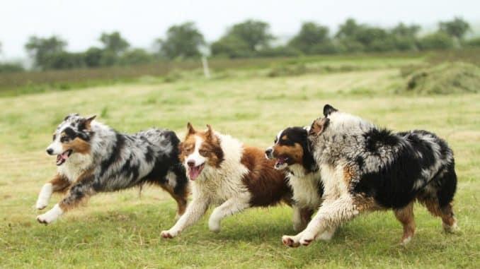 Mittelgroße Hunderassen