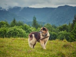 Rumänische Hunderassen
