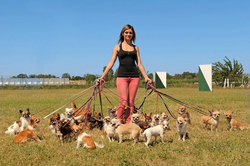 """Mädchen mit """"Zwerghunden"""" Chihuahuas"""