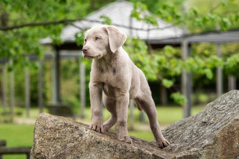 Silberner Labrador Welpe
