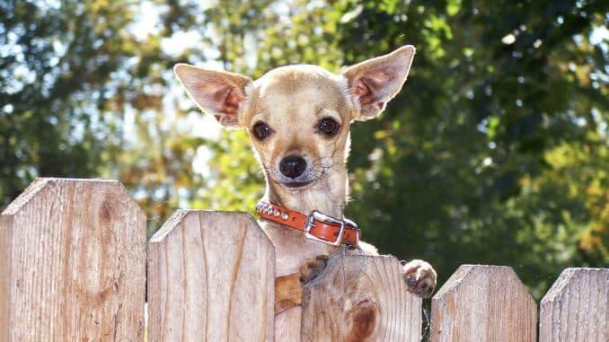 Chihuahua guckt über einen Hundezaun aus Holz