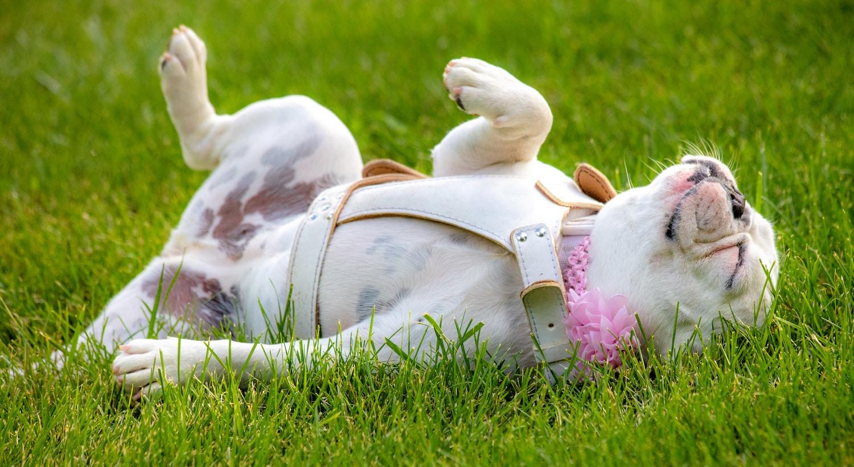 Französische Bulldogge mit Leder Hundegeschirr auf dem Rasen