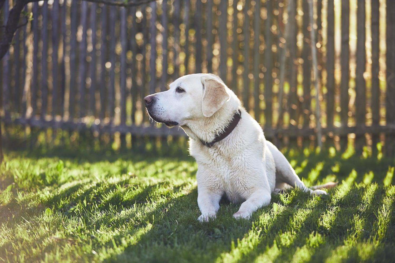 Hund liegt im Garten vor dem Hundezaun