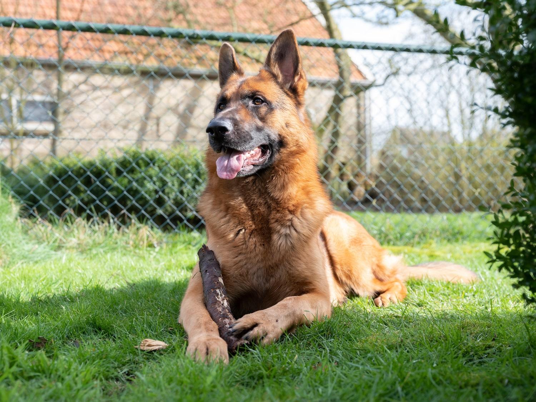 Schäferhund im Garten mit einem Hundezaun