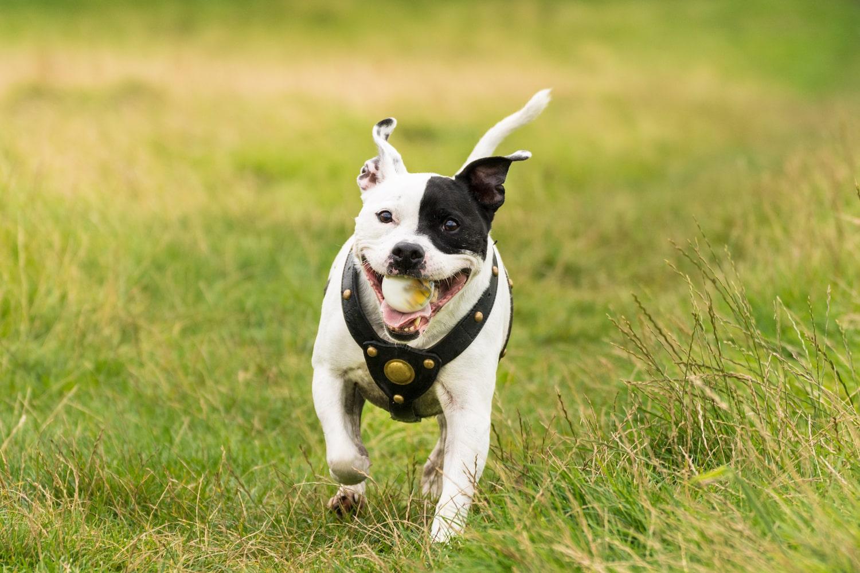 Staffordshire-Bullterrier mit Hundegeschirr aus Leder