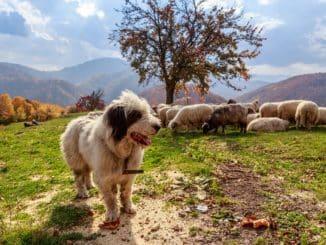 Hüte- und Treibhunde