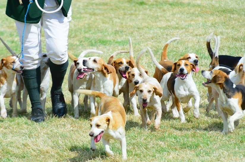 Beagle-Rudel auf der Jagd
