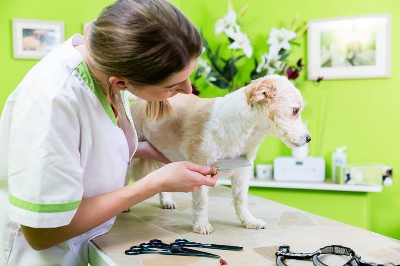 Hund wird auf Läuse untersucht