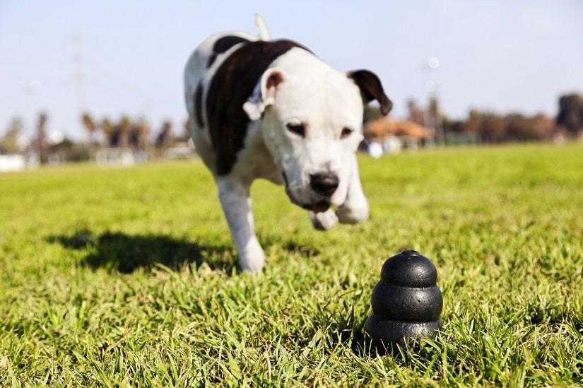 Hund rennt zum Spielzeug auf einem Rasen