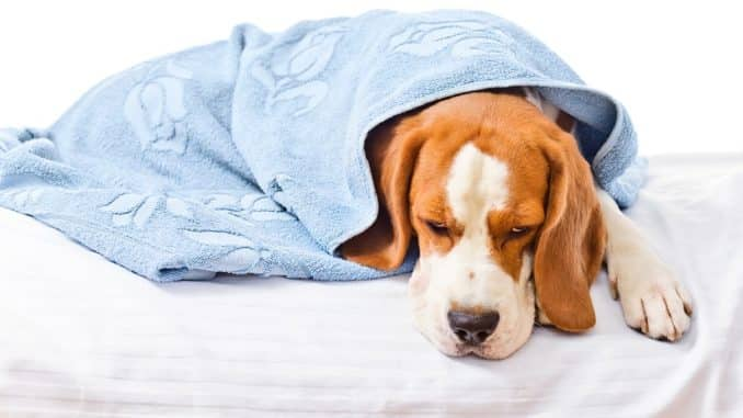 Toxoplasmose beim Hund